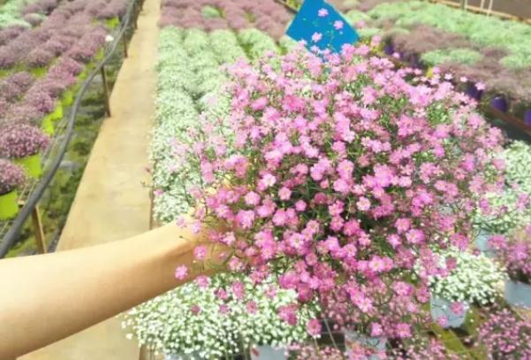 昆明满天星花卉价格