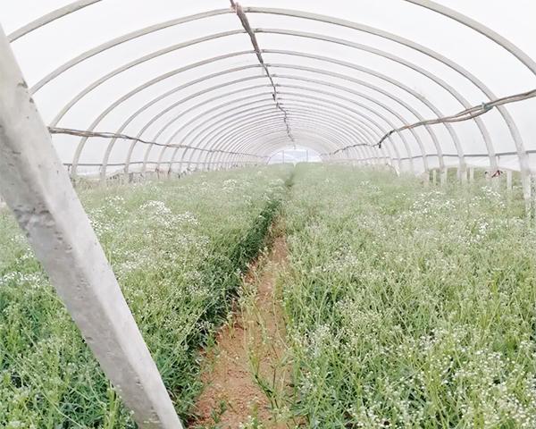 满天星种苗栽培技术