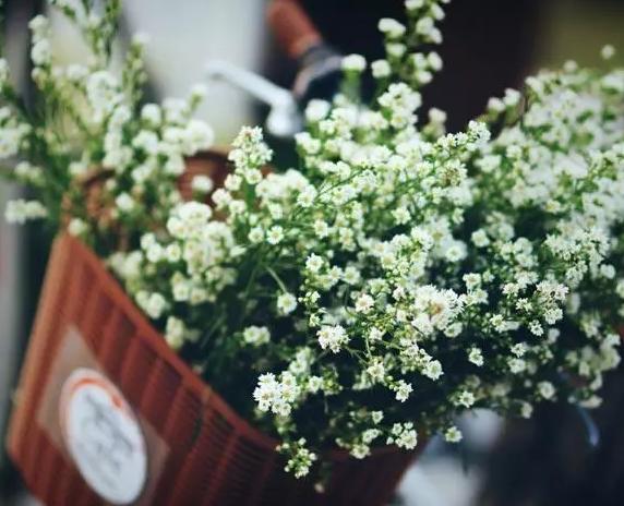 昆明满天星花卉种苗