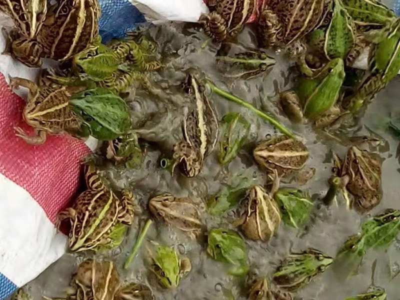 四川美蛙养殖基地的美蛙春季养殖管理方法