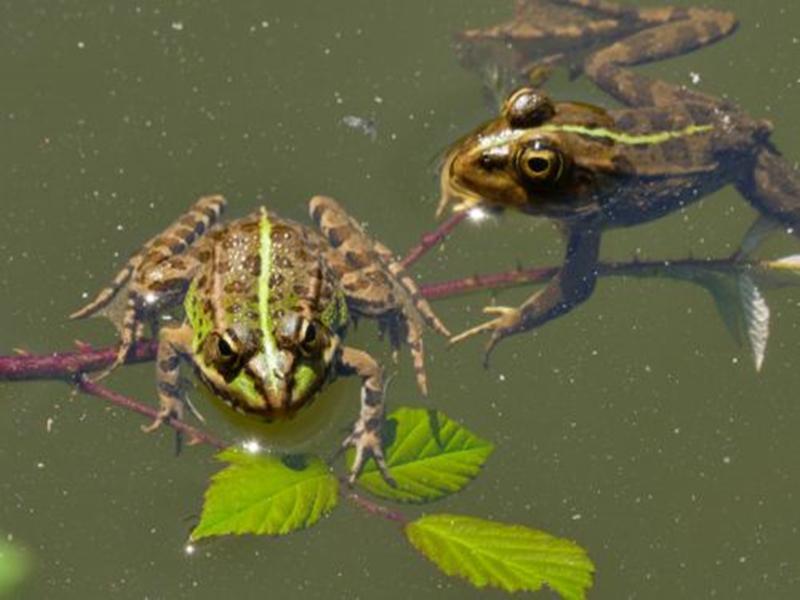 黑斑蛙养殖优点