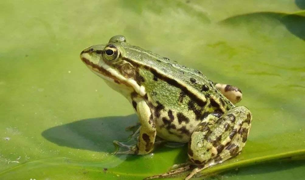 四川美蛙养殖基地的美蛙养殖过程中需要注意什么