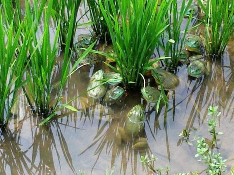 人工饲养的美蛙需要注意什么?