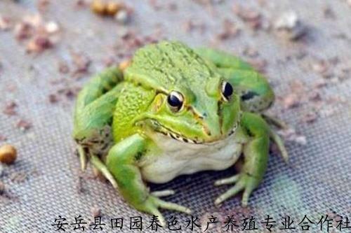 CQ-牛蛙蛙苗