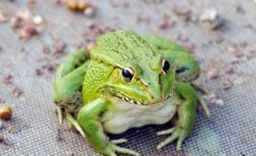 MS-人工养殖青蛙