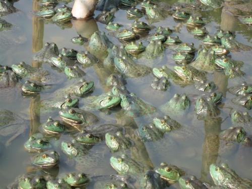 这八个关于黑斑蛙苗的养殖方法你知道吗?