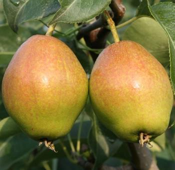 汤阴红香酥梨苗场讲述冬季修剪梨树促丰产