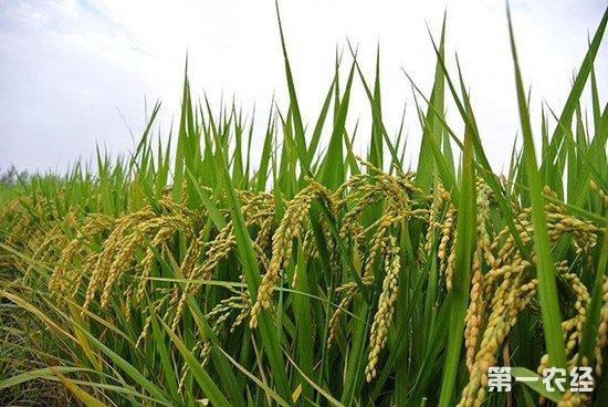 肥西农牧养殖原料平台176种实验海水稻长势良好 今年有望挑选出适宜推广的海水稻品种