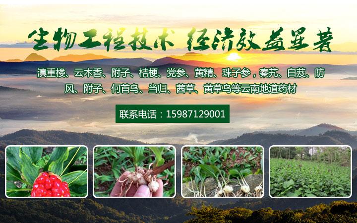 云南白芨種苗種植