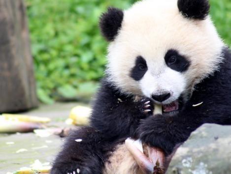 大熊貓高高回國 福州辦公家具廠家分享