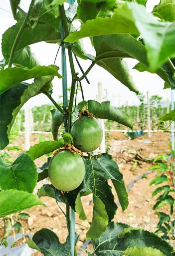 黄金百香果种植是搭棚架还是篱架好?