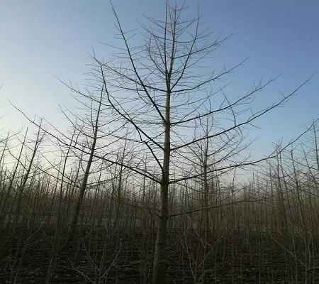 18公分银杏实生树