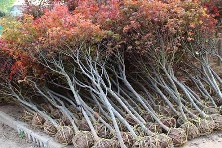 美国红枫树苗