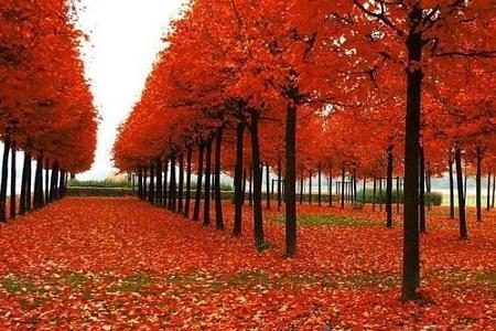 美国红枫厂家讲解美国红枫落叶规律