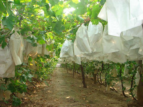 建水葡萄批发专用种植套袋效果图