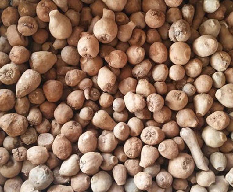 云南一代魔芋种子