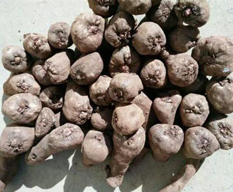一代魔芋种子15~30克