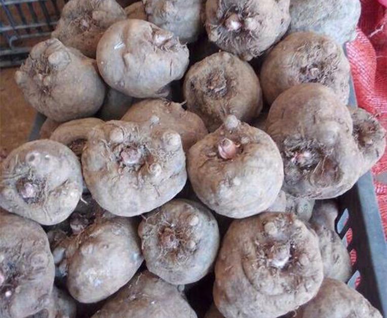 二代魔芋种子50~150克