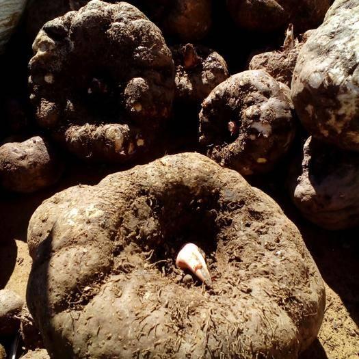 冬季魔芋种植技术和注意事项