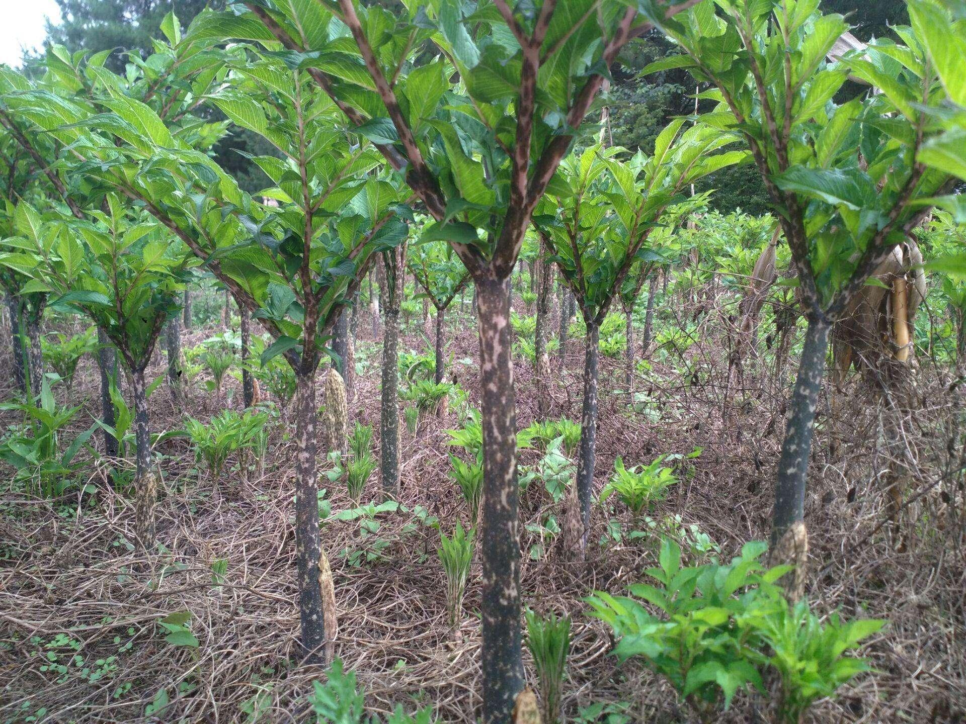 云南魔芋种植栽培方法