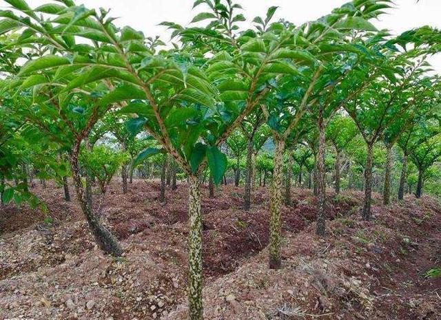 魔芋的管理以及种植方法