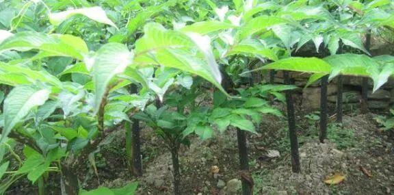 云南凯捷魔芋的种植技术