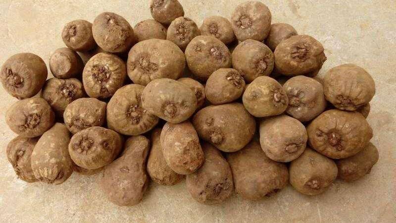 云南魔芋种子多少钱一斤