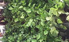 昆明垂直绿化的好处