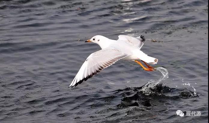 昆明滇池海鸥