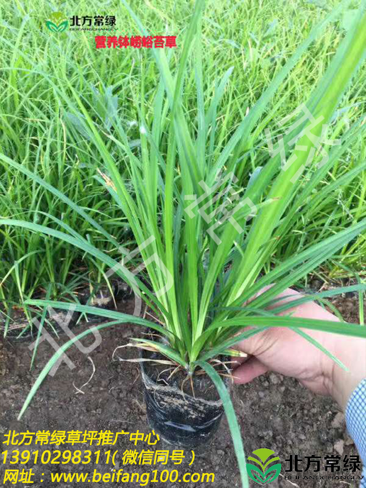 嶗峪苔草營養缽