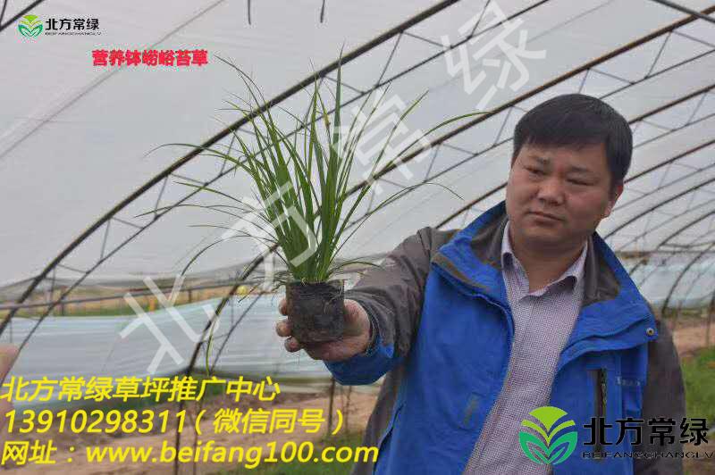 北京崂峪苔草供应基地优选北方常绿草坪