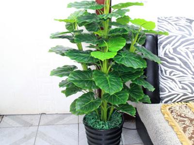 室内发财树造型