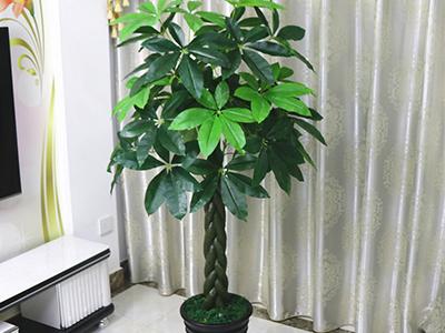 室内景观发财树