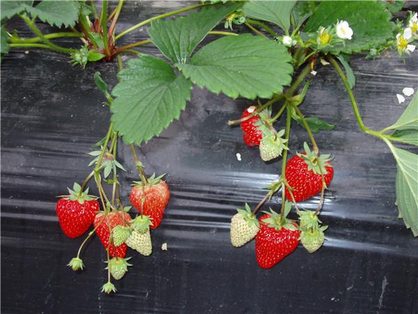 红颜(巧克力)草莓