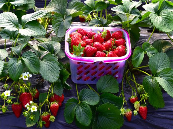 金凤草莓采摘