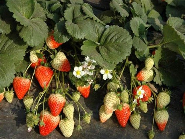 天香草莓采摘