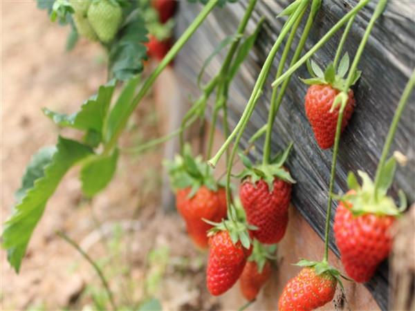 重庆香妃草莓采摘