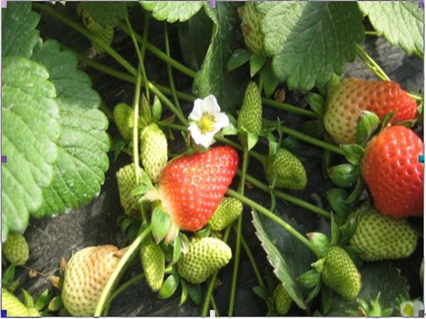 章姬(奶油)草莓