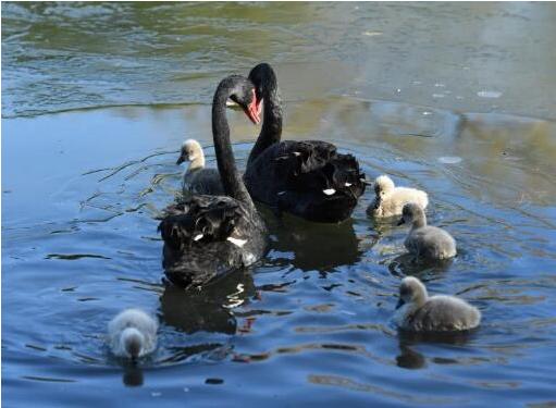 兰州牛肉面加盟店从圆明园曲院风荷景区得到喜讯:圆明园迎来6只黑天鹅宝宝