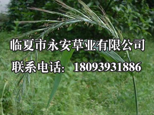 垂穗披碱草小穗绿色,成熟后带有紫色,通常在每节生有2枚而接近顶端及下部节上仅生有1枚。