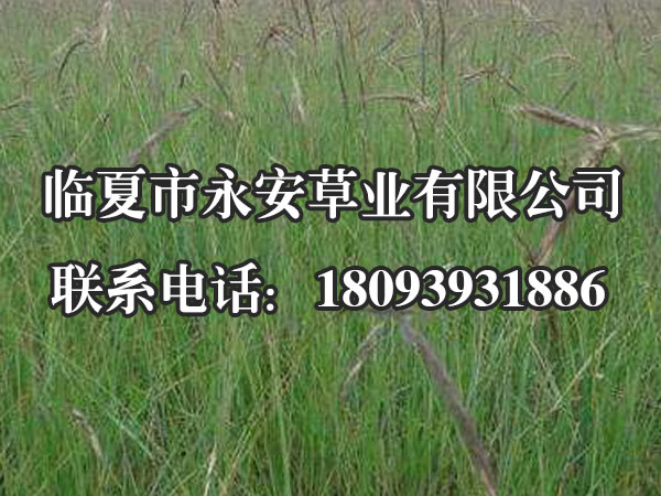 西藏老芒麦