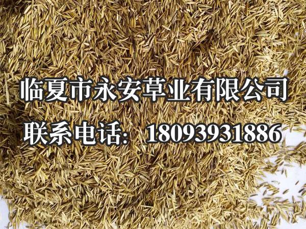 西藏老芒麦种子