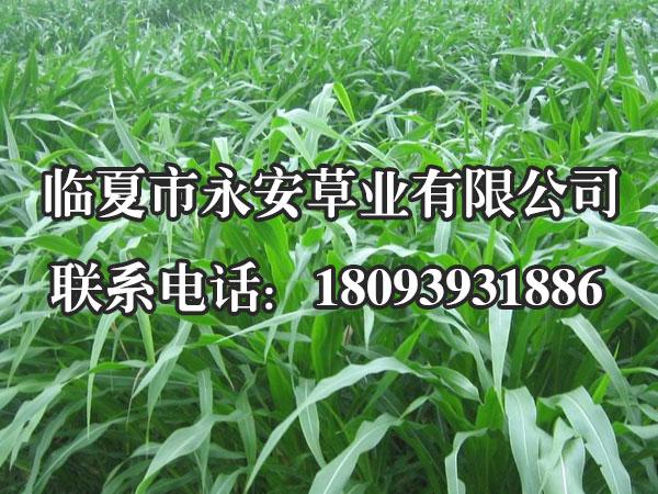 阿伯德黑麦草是新一代的宽叶型四倍体一年生禾本科牧草,叶片宽大,鲜嫩多汁,糖分含量高。性喜温凉湿润的气候。适应我中南北方利用冬闲农田等水肥条件较好的地方种植。