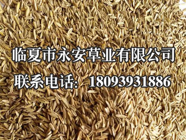 邦德一年生黑麦草种子