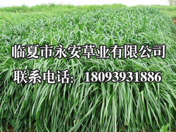 一年生黑麦草,又叫意大利黑麦草,性喜温凉湿润的气候,适宜在壤土或粘壤土地种植,