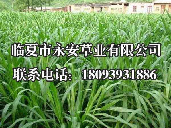 一年生黑麦草株形直立,株高130厘米,分蘖力强,叶鞘无茸毛,穗长17-30厘米,每个小穗上着11-22个小花,外颖有芒。根系发达,须根多密布在20厘米的地表土层中。喜湿润气候,宜于夏季凉爽、冬季不太冷的地方生长,适宜在壤土或粘壤土地种植,较耐湿、耐盐碱,最适宜的土壤pH值为6-7。再生力较强,耐刈,耐牧,可多次刈割利用。全生育期90-110天。