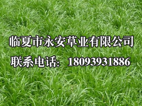一年生黑麦草营养物质丰富,品质优良,适口性好,各种家畜均喜采食。