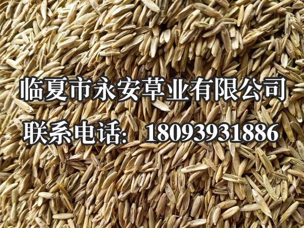 一年生黑麦草播种形式有条播、穴播和撒播,以条播最为理想。黑麦草种子细小,要求浅播、匀播。条播时的行距为20~30厘米,播深1~2厘米,播幅5厘米。播完后要进行镇压,使种子与土壤紧密结合。