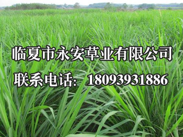一年生黑麦草播种形式有条播、穴播和撒播,以条播最为理想。
