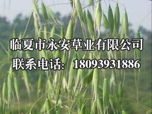 燕麦草,又叫铃铛麦,多年生禾草、须根入土深,呈棕黄色。可生活5-7年,喜温暖湿润气候,能耐夏季炎热,也较耐寒。原产欧洲和地中海一带。现各国引种栽培。中国各地亦有栽种,中国南方花期为6月,北方花期为7月。
